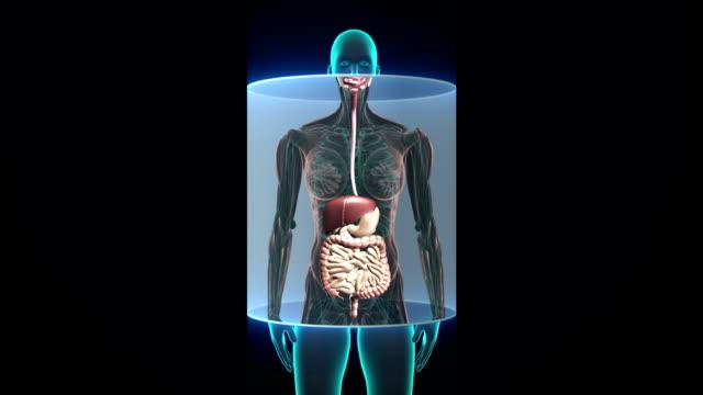 weiblichen körper, die inneren organe, verdauungssystem scannen. röntgenbild. - menschlicher verdauungstrakt stock-videos und b-roll-filmmaterial