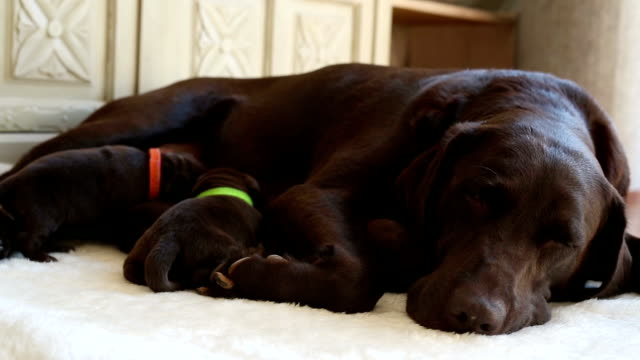 female brown labrador and her puppies video