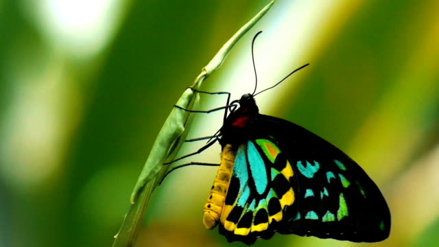female butterfly a female cairns birdwing butterfly rests on a leaf in the Qld rainforest butterfly insect stock videos & royalty-free footage