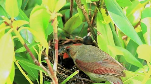 weibliche kardinal stehen auf ihrem vogelnest - nest stock-videos und b-roll-filmmaterial