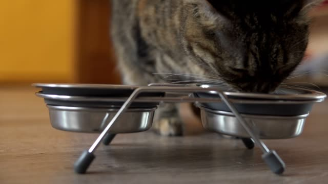 a female cat coming up to the dish and staring to eat dry food from metal dish. man's hand giving metal dish with food and water. shot in 4k - felino video stock e b–roll