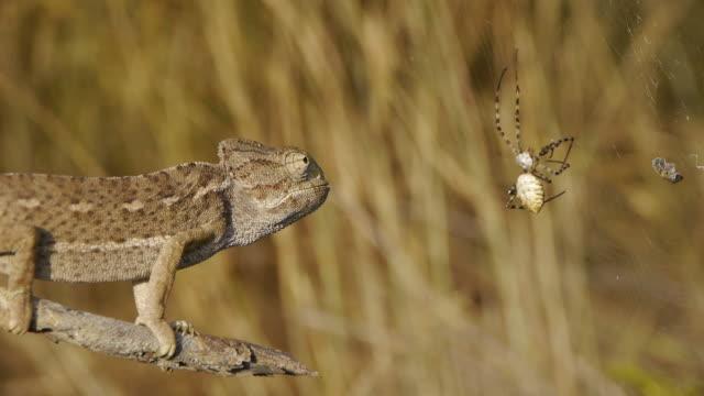 vidéos et rushes de caméléon femme à la chasse - reptile