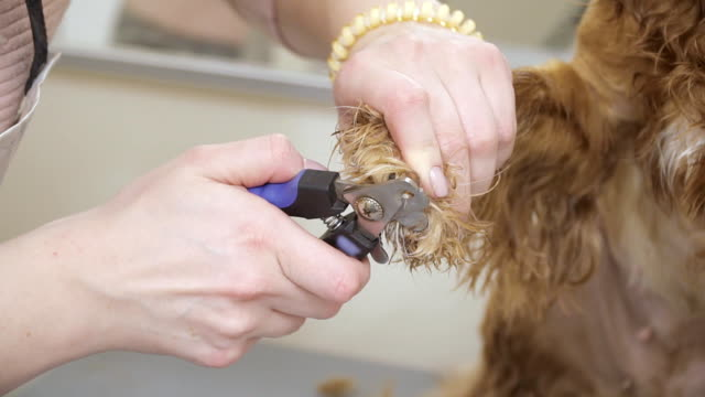 Female cuts nails of cocker spaniel with clippers video