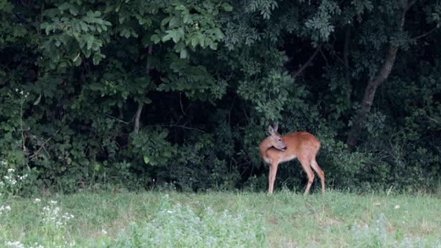 female deer eating at the edge of a forest - jelonek filmów i materiałów b-roll