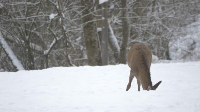 female deer eating - jeleniowate filmów i materiałów b-roll