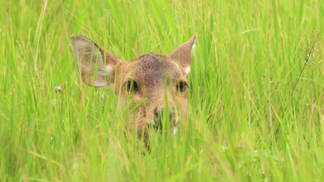 female deer head look feeding grass while sitting and standing out for frame