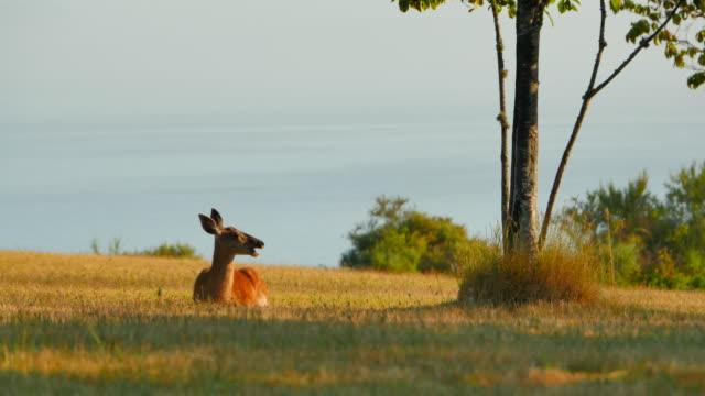 Female Doe Whitetail Deer Resting Peacefully in Grass Park video