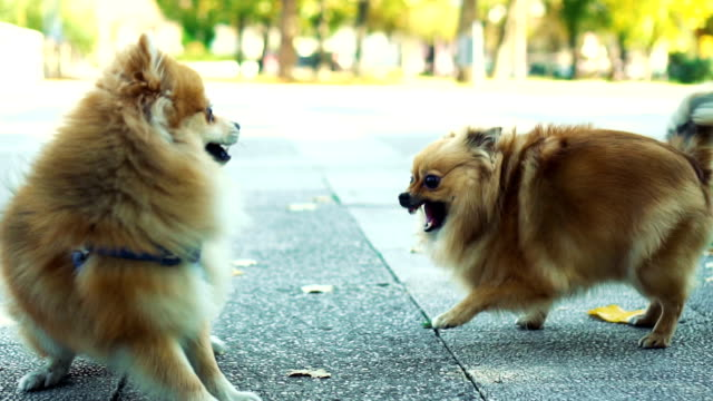 メス犬がオス犬の攻撃から守る - 愛玩犬点の映像素材/bロール