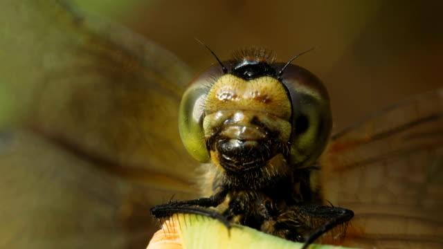 vidéos et rushes de dard de libellule femelle de vagabond. - insecte