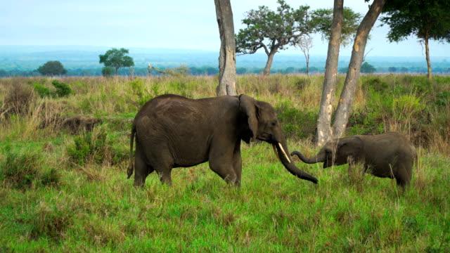 雌の象は、タンザニアのサバンナの赤ちゃんカブ - 野生動物旅行点の映像素材/bロール