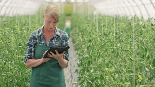 Female farm employee checking on the tomatoes using a digital tablet video