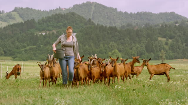 Female farmer calling her goats to follow her while holding a bucket of treats for them Wide handheld shot of a female farmer calling her flock of goats and banging on the bucket with treats and they follow her across the pasture. Shot in Slovenia. mid adult stock videos & royalty-free footage
