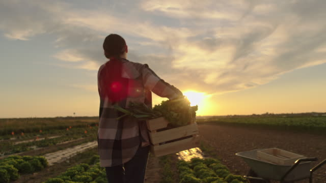SLO MO Female farmer carries a crate full of vegetables across a field at sunset
