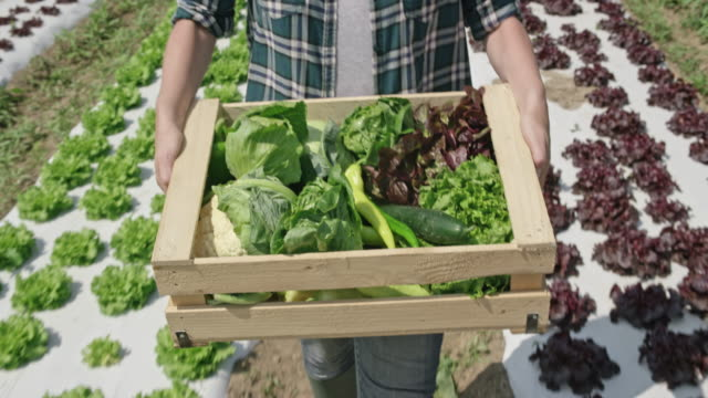 Female farmer carrying a full wooden produce crate in the sunny field video