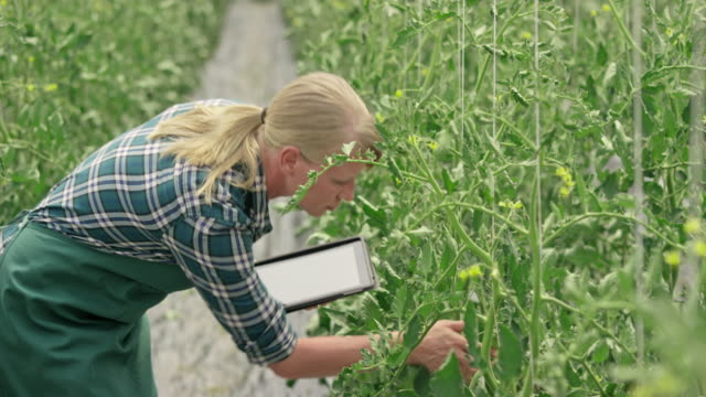 female farmer checking tomatoes and using a digital tablet - leanincollection stock videos & royalty-free footage