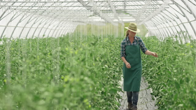DS Female farmer checking tomatoes in the greenhouse video