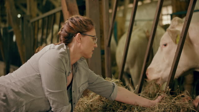 Female farmer feeding her cows in the barn with hay by hand video