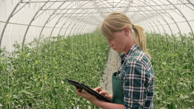 female farmer in the greenhouse checking tomato growth progress using a tablet - использование цифрового планшета стоковые видео и кадры b-roll