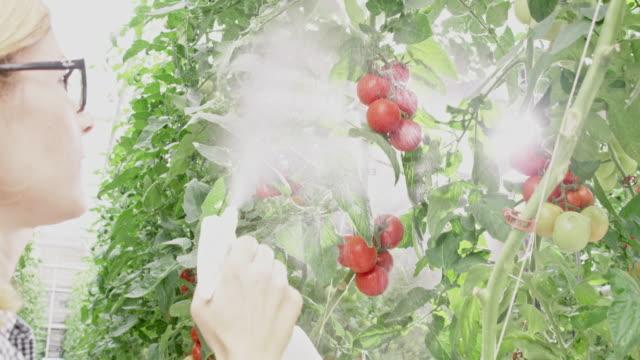 vidéos et rushes de agriculteur ms female pulvérisation des plants de tomates dans une serre - herbicide
