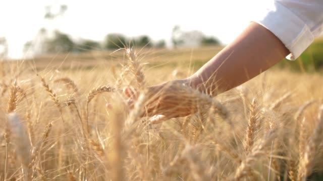 Female farmer touching on Wheat Crops barley field , SLOW MOTION