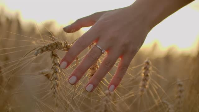 vidéos et rushes de fermier féminin marchant en bas du champ de blé dans le coucher du soleil touchant des oreilles de blé avec des mains - concept d'agriculture. - foin