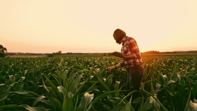 Female farmer with digital tablet examining corn crop in idyllic,rural field at sunset,real time video