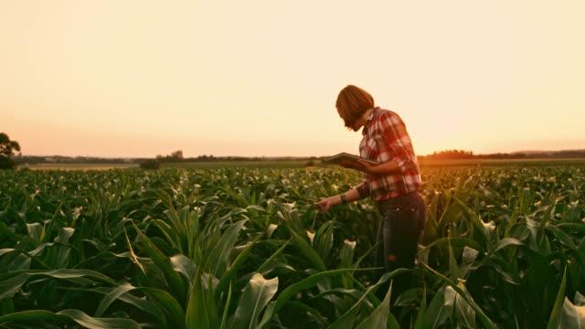 vídeos de stock, filmes e b-roll de agricultor feminino com tablet digital examinando a colheita de milho no campo rural, idílica no pôr do sol, em tempo real - estilo de vida dos abastados