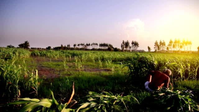kvinnliga jordbrukare som arbetar i fältet - haryana bildbanksvideor och videomaterial från bakom kulisserna