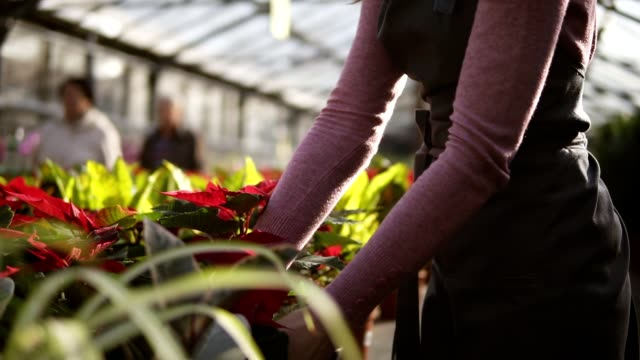 Female florist in apron examining and arranging flowerpot with red poinsettia on the shelf. Young woman in the greenhouse with flowers checks a pot of red poinsettia on the shelf video