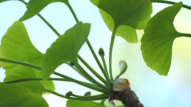 Female flower or Pistillate flower of gingko tree under blue sky in spring video