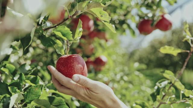 vídeos y material grabado en eventos de stock de agricultor de frutas ds mujer examinando las manzanas en el huerto - cosechar