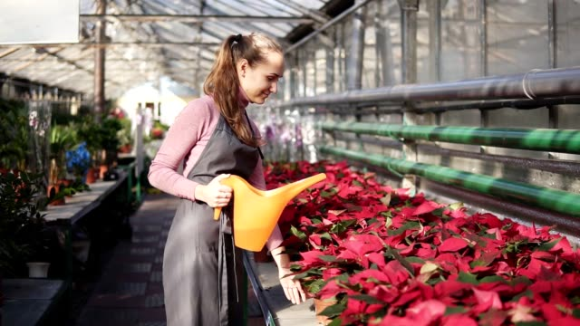 Female gardener in uniform walking in a greenhouse and watering pots of red poinsettia with garden watering can video