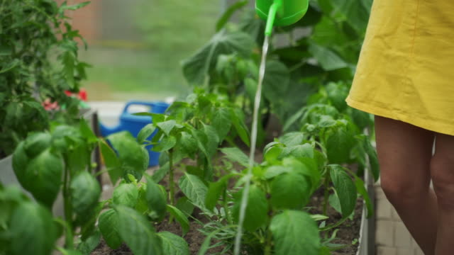Female gardener watering plants in a greenhouse
