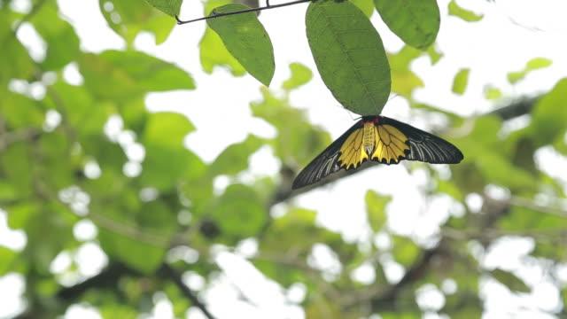 female golden birdwing wildlife in the mountain taiwan - torace animale video stock e b–roll