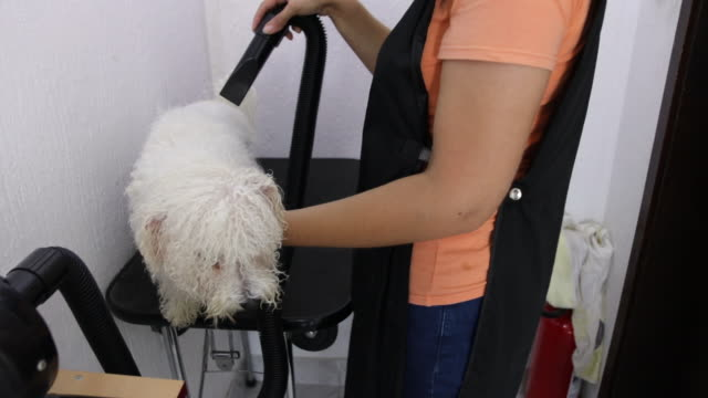 Female groomer drying Bichon Frise's hair at grooming salon