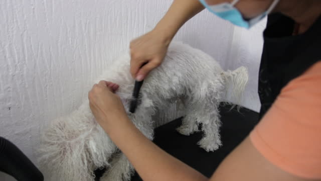 Female groomer taking care of Bichon Frise's hair at grooming salon