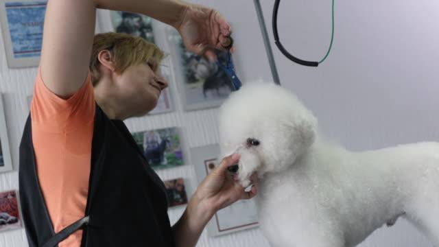 はさみでグルーミングサロンで働く女性のグルーマー。動物の美容院でビションフリーズの髪をトリミンググルーマー - ビションフリーゼ点の映像素材/bロール