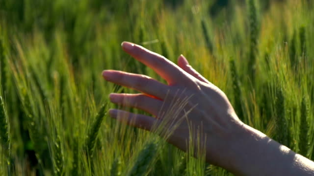 female hand close-up on a wheat field - sustainability video stock e b–roll