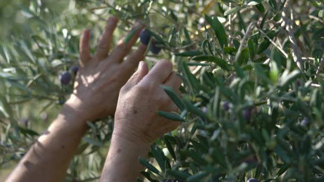 stockvideo's en b-roll-footage met vrouwelijke hand houden een olijftak op de boom - olijf