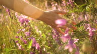 istock Female hand holds through blooming bells and dry long grass 836351456