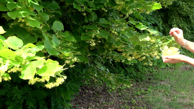 female hand pick yellow linden flower in glass bowl . FullHD video