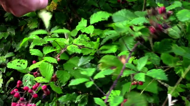 Female hand picking a ripe wild blackberry, harvest in the forest
