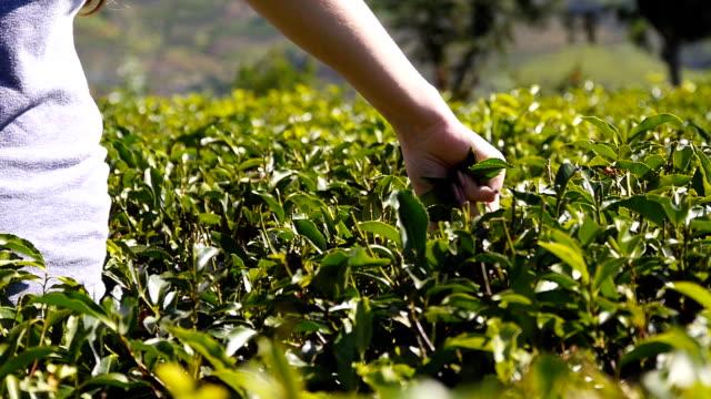 la mano femminile raccoglie foglie fresche in piantagione in una giornata di sole. braccio di donna raccoglie il tè dai cespugli verdi della fattoria. la ragazza raccoglie il fogliame da arbusti lussureggianti. concetto di viaggio estivo. rallentatore - braccio umano video stock e b–roll