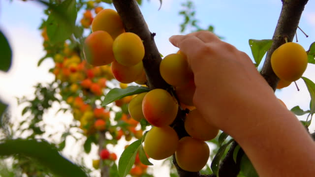 female hand picks ripe delicious apricots from apricot tree branches - абрикос стоковые видео и кадры b-roll