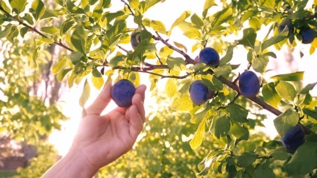 Female hand plucks blue plums. Sunlight floods the orchard. Female hand plucks blue plums. Sunlight floods the orchard. Natural organic food. Harvesting. Diet plum stock videos & royalty-free footage