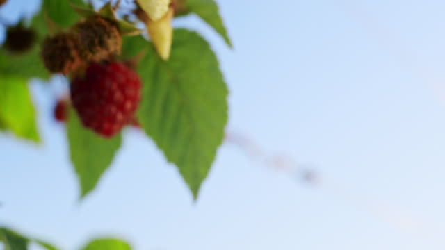 Female hand take a red raspberries from the bush. Close up video