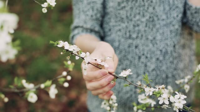 Female hand touches a branch of blossoming cherry video