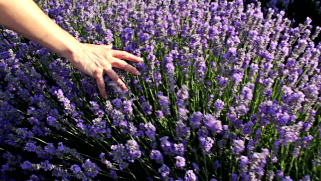 Female hand touching a lavender plants at sunset field. video