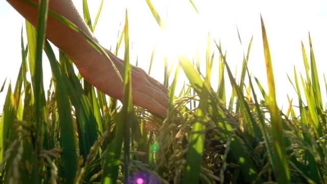 CLOSE UP: Female hand touching and caressing ripe rice plant at golden sunset video