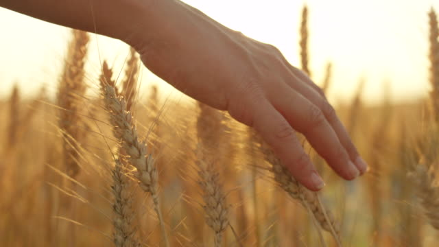 slow motion: female hand touching dry golden wheat plants at gorgeous sunset - lama oggetto creato dall'uomo video stock e b–roll